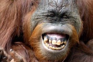 le lol du gorille