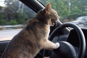 photo-humour-animaux-chat-au-volant