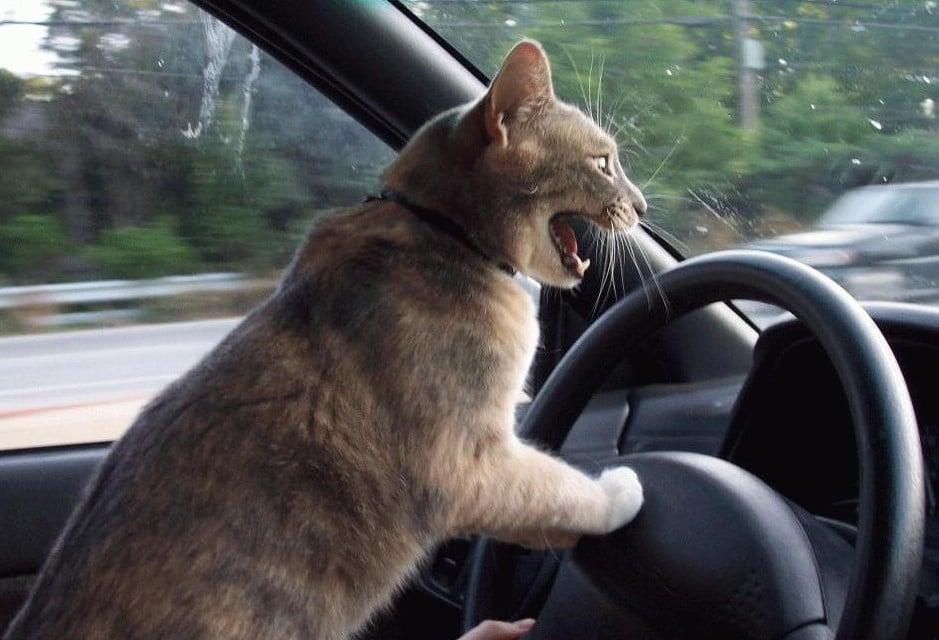 HUMOUR : le chat dans tous ses états - Page 5 Photo-humour-animaux-chat-au-volant