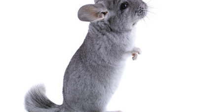 Assurance chinchilla