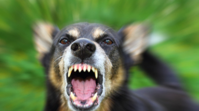Certaines obligations à respecter avec un chien «dangereux»