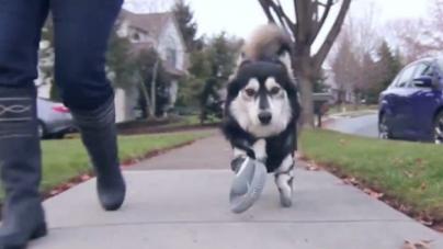 Ce chien court avec des prothèses