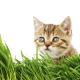 Nepeta Cataria ou Herbe à chat