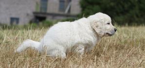 La diarrhée chez le chien