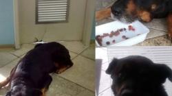 Un Rottweiler attend 3 semaines  sa maîtresse devant un hôpital