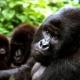 Le Parc des Virunga menacé par l'exploitation du pétrole