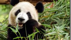 Les pandas  ne sont plus en voie de disparition ?