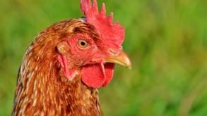Poules maltraitées : la nouvelle vidéo choc de L214