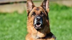 Le Berger allemand, un chien fidèle très attachant