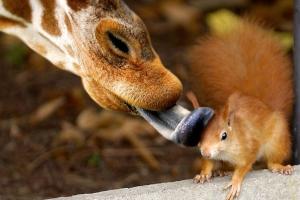 bisous de la girafe