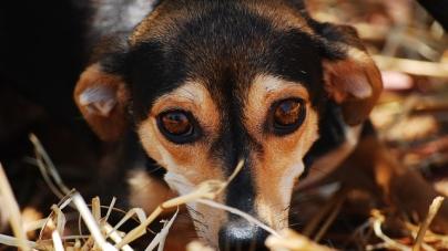 Race des chiens et maladie
