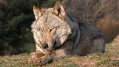 Le loup européen, ancêtre de notre chien?
