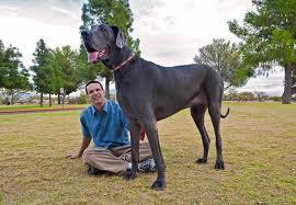 Le chien le plus grand du monde, George le géant, est mort