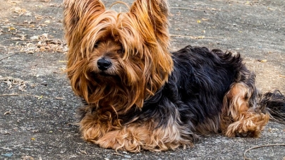 Un chien rikiki