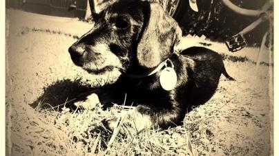 Le chien serait-il né en Europe il y a 180 siècles ?