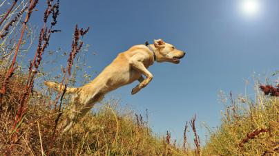 Ce qu'il faut faire lorsque le chien fugue