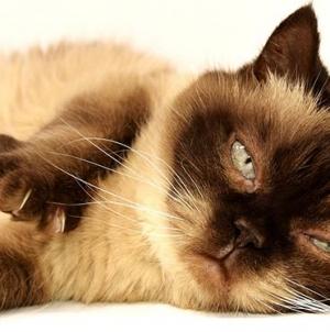 Comment savoir si votre chat a mal ?