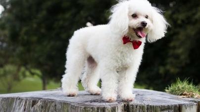 Tout savoir sur le caniche, l'autre super chien de compagnie