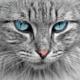 Races de chat à longs poils