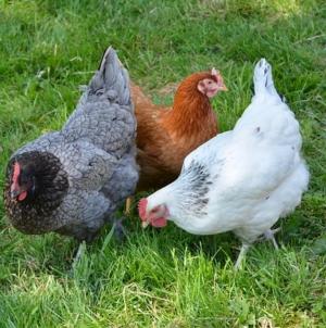 Comment élever des poules quand on vit en zone urbaine ?