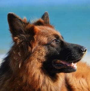 Quelle race de chien peut assurer la sécurité à la maison ?