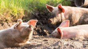 Élevage de porc : comment éviter les risques d'infections virales ?